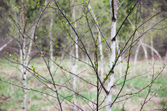 Young birches Stock Photos