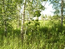 Young birches in the field. stock image