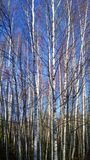 Young birches in a field in late autumn royalty free stock images