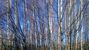 Young birches in a field in late autumn royalty free stock image