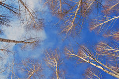 Young birches pull branches. In the dark blue sky Stock Photo