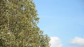 Young birches and blue sky background. Young birches with strong wind and blue sky background stock video footage