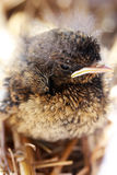 Young bird. Baby bird beeing cared for Royalty Free Stock Photography