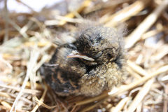 Young bird. Baby bird beeing cared for Stock Photo