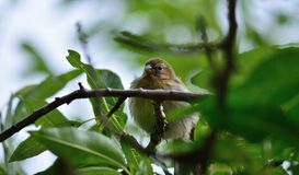 Young bird amidst branches, serinus Stock Photo