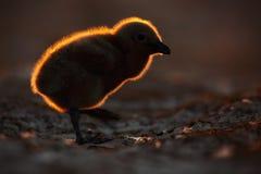 Young bird with beautiful back light light during sunset. Evening wildlife scene. Brown skua, Catharacta antarctica, water bird si. Young bird with beautiful stock images
