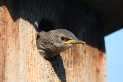 Young bird in birdhouse. Young Bird is going to fly out of the nest Stock Image