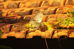 Young bird catching a prey, spreading wings. Hunting bird on a brick roof is catching an insect, showing yellow belly Royalty Free Stock Photos