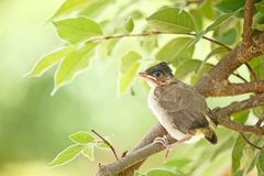 Young bird in first day fly learning Royalty Free Stock Photography