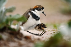 Young bird hidden in the parent. Two-banded Plover in sand beach. Sea bird in the sand beach. Plover in the nature habitat. Little. Young bird hidden in the Stock Image