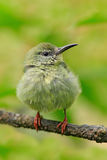 Young bird in nature habitat. Lost lonely fledgling sitting on branch. Red-legged Honeycreeper, Cyanerpes cyaneus, exotic tropic b Royalty Free Stock Images