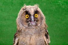 Young bird owl Stock Photos