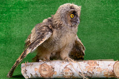 Young bird owl Stock Images