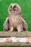 Young bird owl Royalty Free Stock Images
