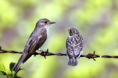 Young bird with a parent Stock Image