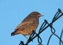 A young bird (Phoenicurus ochruros) Stock Image