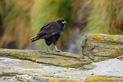 Young bird of prey Strieted caracara, Phalcoboenus australis. Caracara sitting on the yellow rock in Falkland Islands, Argentina. Royalty Free Stock Photography