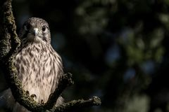 Young bird of prey in tree stock image