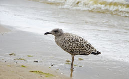 Young bird seagull on beach Royalty Free Stock Photography