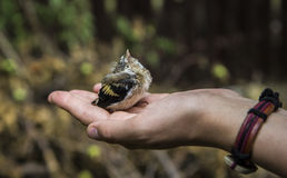 Young Bird Sparrow In Hand royalty free stock photo