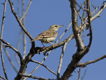 The young bird of the Tawny Pipit sitting deep in the bush. Royalty Free Stock Photos