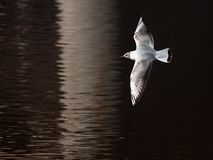 Young bird tea flies over a water surface. Young bird white seagull flies with spread wings over surface of dark water in early spring Royalty Free Stock Photography