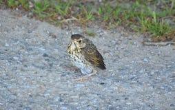 Young bird, thrush singing, southern Bohemia Royalty Free Stock Image