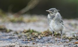 Young bird wagtail Royalty Free Stock Photo