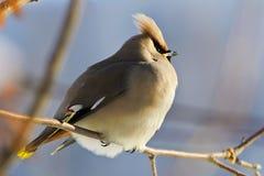 Bright bird Waxwing on a Rowan branch. Winter. A young bird Waxwing (Bombycilla garrulus), an irruptive winter species in Siberia, perching on a Rowan branch Royalty Free Stock Photos
