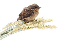 Young bird on wheat. Stock Image