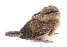 Young bird. Royalty Free Stock Images