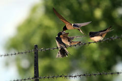 Young birds. Feed by there parents Stock Photography