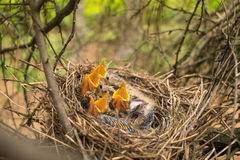 Young birds in the nest in a tree. Closeup stock images
