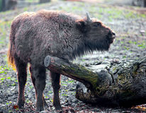 Young bison Stock Images