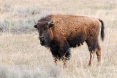Young Bison (Buffalo) in Yellowstone Royalty Free Stock Photography