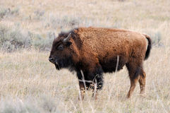 Young Bison (Buffalo) in Yellowstone Royalty Free Stock Images