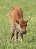 Young Bison Calf Stock Photos