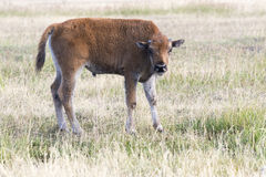 Young bison calf standing in field Stock Photos