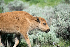 Young Bison. A bison calf walking through a field Royalty Free Stock Images