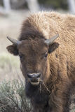 Young bison eating grass , portrait Stock Images