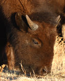 Young Bison Feeding Stock Images