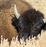 Young bison peeking through dry grass Royalty Free Stock Photography