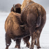 Young Bison Suckling. Adolescent American Bison and Cow Nursing in Winter Snow Stock Photo