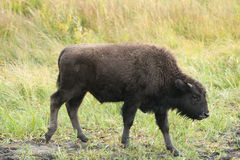 A young Bison in Yellowstone Park Royalty Free Stock Image