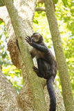 Young blach capouchin monkey. Young black Capouchin monkey climbing on a tree in the rainforest of Rio de Janeiro Stock Image