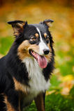 Young black Australian shepherd portrait in autumn Royalty Free Stock Image