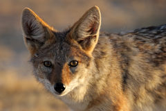 Young black-backed jackal Stock Photo