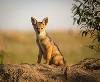 Young black backed jackal pup staring at viewer Stock Photography