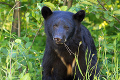 Young black bear Royalty Free Stock Photos