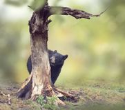 Young bear behind of the tree. Young black bear behind of the tree royalty free stock photo